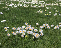 Daisies in meadow. Stock Image