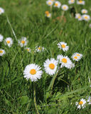 Daisies in meadow. Royalty Free Stock Image