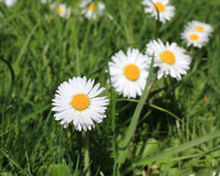 Daisies in meadow. Stock Images