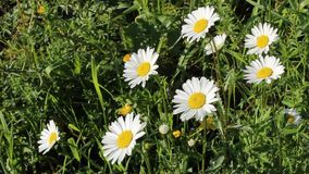 Daisies in a meadow stock footage