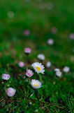 Daisies on a  meadow Stock Images