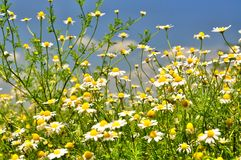 Daisies meadow Stock Photos