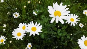 Daisies in the meadow are moving. In the wind stock footage