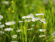 Daisies on a meadow Royalty Free Stock Photography