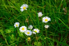 Daisies on a meadow. Some daisies on a meadow Royalty Free Stock Image