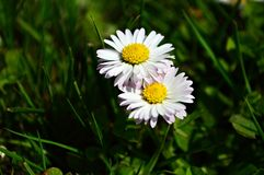 Daisies. In a meadow  in spring sunny day Stock Photography