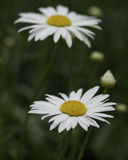 Daisies in a meadow. In summer Stock Image