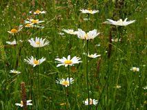 Daisies in meadow Royalty Free Stock Photos