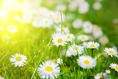 Daisies in a meadow with sunlight Royalty Free Stock Image