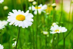 Daisies. On a meadow in the sunny weather Royalty Free Stock Photography