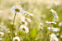 Daisies on a meadow at sunrise Royalty Free Stock Photography
