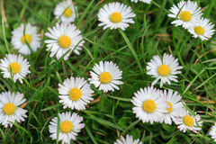 Daisies in meadow, white daisy flower macro Stock Photography