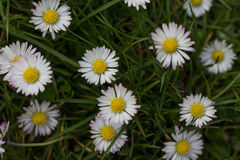 Daisies in meadow, white daisy flower macro Stock Images
