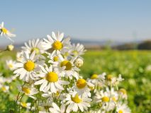Daisies in the middle of the field. Summer does not let go. Surely amazement to see the summer flowers in the beginning of autumn stock photography