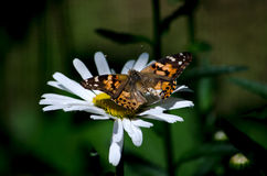 Daisies and monarchs Royalty Free Stock Photos