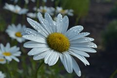 Daisies after the morning Rain Stock Photography