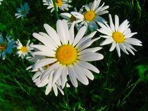 Daisies. In morning sunlight Stock Images