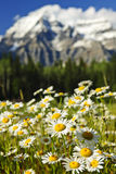 Daisies at Mount Robson provincial park, Canada Stock Image