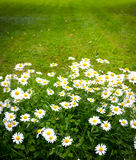 Daisies on mown lawn Stock Photos