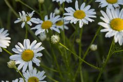 Daisies in nature Stock Images