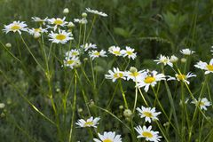Daisies in nature Stock Photos