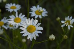 Daisies in nature Royalty Free Stock Photo