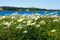 Daisies near the sea Stock Image