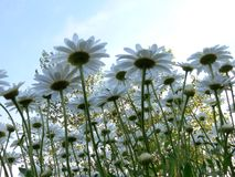 Daisies from a new perspective Royalty Free Stock Images