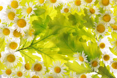 Daisies and oak leaves Stock Image
