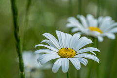 Daisies in Olympic National Park Royalty Free Stock Image