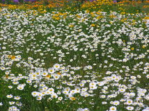 Free Daisies & Other Wildflowers Stock Images - 2026574