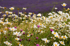 Daisies and others Stock Image