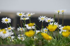 Daisies and others. Daisies and other flowers in spring Royalty Free Stock Photo