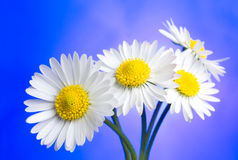Daisies over blue Stock Image
