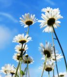 Daisies over blue sky Stock Photo