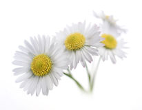 Daisies over white Royalty Free Stock Photo