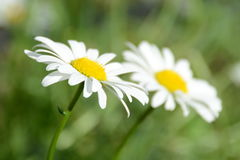 Daisies. A pair of daisies in the garden Royalty Free Stock Photo