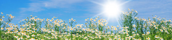 Daisies Panorama stock photos