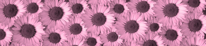 Daisies. Panorama composed of many files as decoration Stock Photo