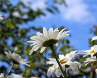 Tall Daisies on a Sunny Day. Daisies photographed from beneath on a sunny day with blue skies.  Height of flowers emphasized with view from the ground.  Some Royalty Free Stock Image