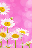 Daisies on pink background Royalty Free Stock Photos