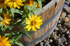 Daisies in a planter Royalty Free Stock Photography