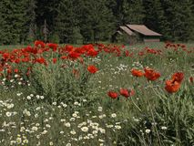 Daisies, Poppies, and a Cabin. This picture of the flower meadow with the cabin in the background was taken in NW Montana Royalty Free Stock Images