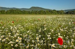 Daisies and poppies in the field near the mountains. Meadow with flowers stock photos