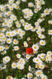 Daisies and poppy Stock Photography