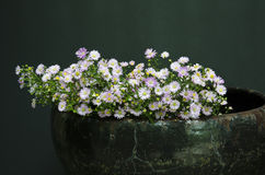 Daisies in pottery Stock Photo