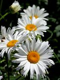 Daisies with pure white petals Stock Images