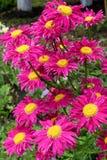 Daisies - pyrethrum Stock Photo