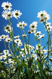 Daisies Reaching for the Sky. Many daisies reach for the blue sky Royalty Free Stock Photos