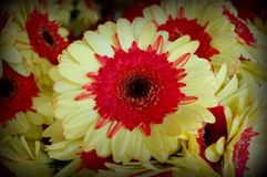 Red and Yellow Asters Royalty Free Stock Photo